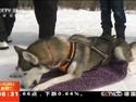 狗年探狗  雪原狂奔