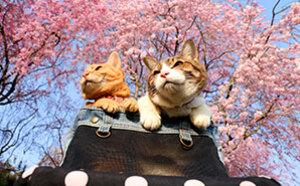 猫咪跟着主人去旅行 樱花树下拍美照