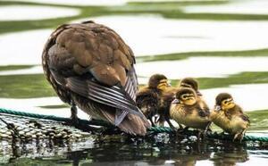 杭州西湖第一窩小鴛鴦會飛了