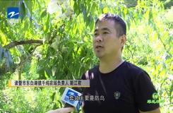 20190813《爱上乡村》:翠花牵线——诸暨黄桃