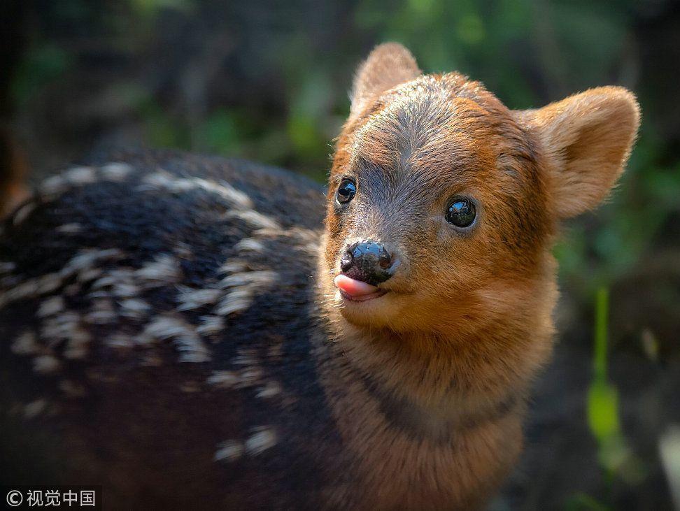 """洛杉矶动物园一小鹿""""撞脸""""韩国艺人意外走红"""