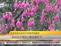 太子湾的山樱花盛开了