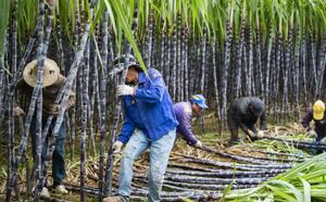【蜂之眼】年头种年尾砍 甘蔗林里话丰收